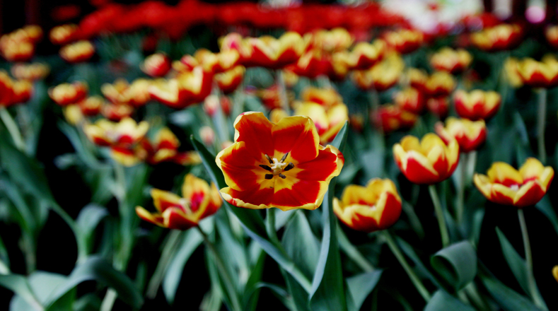 Tulipanes holandeses invaden bogot multimedia telesur for Jardin botanico bogota tarifas 2016