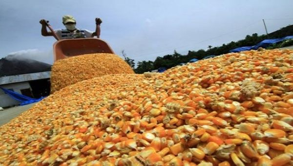 Corn production will come from a total of 22,240 hectares of white corn grown by 2,100 farmers.