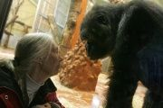 Jane Goodall meets with a gorilla family in Budapest.