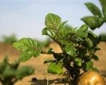 A potato grows in a field irrigated by recycled waste water.
