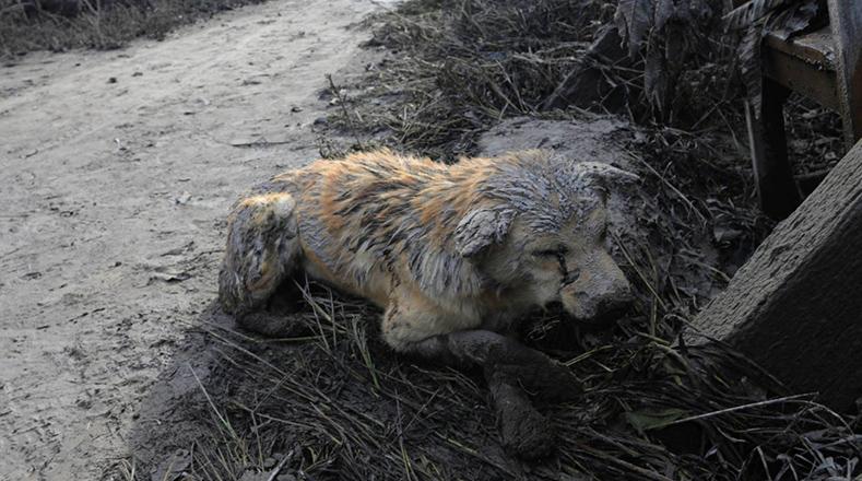 Um cão descansa após a erupção do Monte Sinabung do vulcão na Indonésia. 22 de 02 de maio