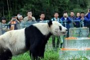 Pan Pan sniffs a birthday cake made of ice for his 30th birthday at the China Conservation and Research Centre for the Giant Panda in Dujiangyan, China.