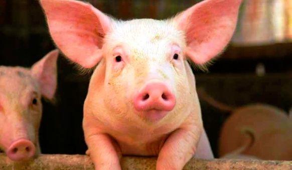 La peste porcina afecta drásticamente la cría de cerdos.