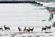 Deer gather at a depot used to store pipes for Transcanada Corp's planned Keystone XL oil pipeline in Gascoyne, North Dakota, Jan. 25, 2017.