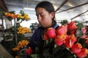 A worker checks roses in preparation for the upcoming Valentine's Day, at a farm in Cajica, Colombia.