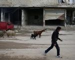 A civilian herds sheep near damaged buildings in the rebel-held besieged Douma neighbourhood of Damascus, Syria Feb. 15, 2017.