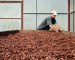 A worker dries coffee beans at a government-run cooperative in Nicaragua.