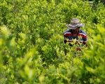 A peasant walks among coca crops in Cauca, Colombia.