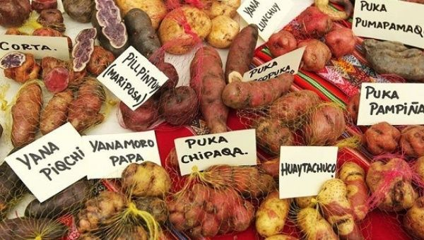 Peru is home to a diversity of native potato varieties.