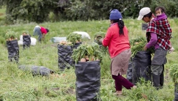 Farmers collect crops in northern Ecuador.