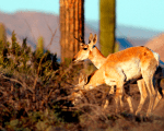 Threatened species like the Sonoran pronghorn or desert bighorn sheep freely cross the border between Mexico and the US in protected biospheres.