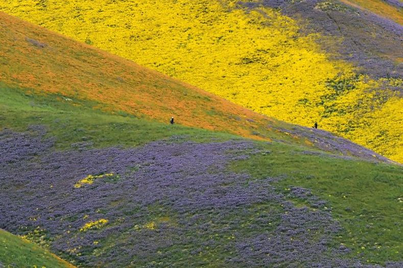 Orange, yellow and purple wildflowers paint the hills of the Temblor Range at Carrizo Plain National Monument near Taft, Calif. The super bloom is so massive that it can be seen on satellite imagery.