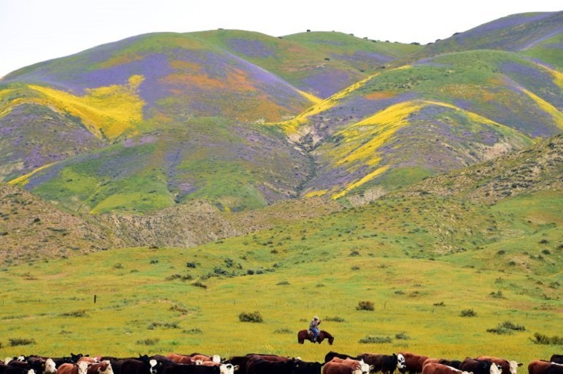 Ranch hands drive cattle to a new pasture amid the super bloom.