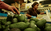 Workers pack avocados in Tancitaro, Michoacan, Mexico, January 2017.