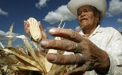 A Mexican farmer harvesting corn.