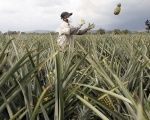Activists reject more fields of pineapple in southern Costa Rica.