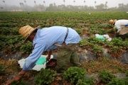 Farmworkers pick strawberries in the early morning fog on a farm in Rancho Santa Fe, California.