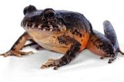 The Heredia robber frog is an endemic frog species that had been declared extinct by the International Union for Conservation of Nature in the year 2004.