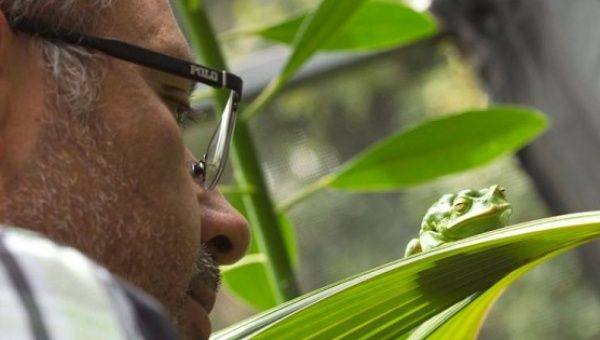 Luis Coloma, director of the Jamabtu Center in Quito, watches a Gastrotheca plumbea or marsupial gray frog that lives in the Andes.