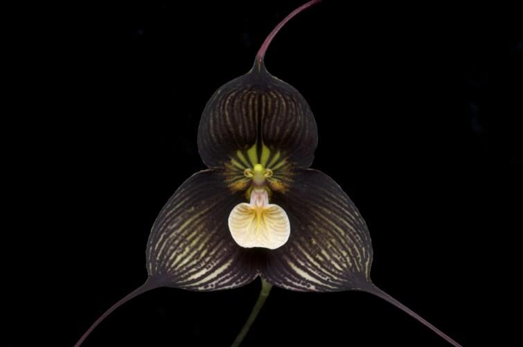 """Orquídea drácula: Esta flor pertenece a las 118 especies de orquídeas. Es de origen estadounidense y su nombre deriva del latín, ya que Drácula significa """"Pequeño dragón""""."""