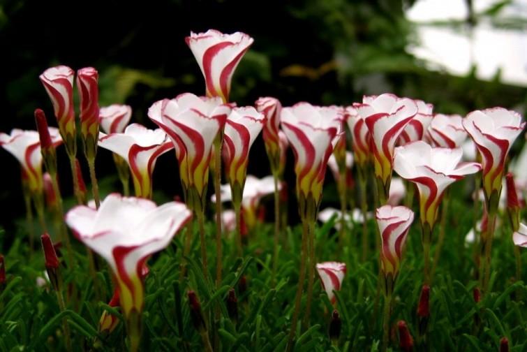 """Candy Cane: Flor de origen sudafricano. Su nombre científico es """"Oxalis Versicolor"""" que significa """"cambio de color"""". En inglés es conocida coloquialmente como """"Candy Cane"""" por sus colores y su forma que la hacen parecer a los clásicos bastones de azúcar blancos y rojos navideños. Estas flores tienen forma de embudo y posee cinco pétalos."""