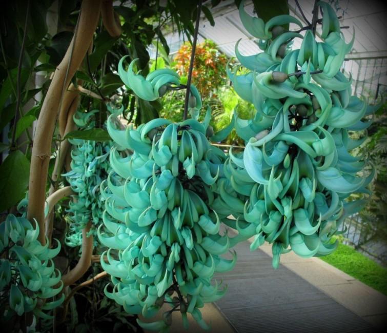 """Flor de Jade: Es una enredadera, proviene del archipiélago de Filipinas. Conocida también por el nombre """"Parra de jade turquesa"""" por su color. Es otra de las flores en peligro de extinción."""