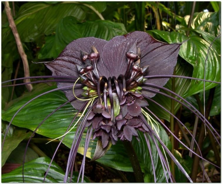 """Flor murciélago: Esta flor asiática es también llamada Tacca Chantieri. Los enormes """"bigotes"""" que salen de la flor son un método de llamar la atención de los pájaros e insectos para ser polinizados."""