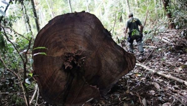 A military policeman walks past trunks of trees recently cut illegally from the Amazon rainforest, inside Jamanxim National Park, Para state, on June 21, 2013.