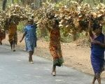 Tribal women carry bundles of twigs and leaves near Shantiniketan, 150 km (95 miles) northwest of Calcutta on March 18, 2004.