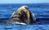 This image released 22 June 2001 by the National Oceanic and Atmospheric Administration shows an endangered North Atlantic right whale which is entangled off Cape Cod, Massachusetts