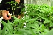 Peru's Congress has approved the use of medicinal marijuana.