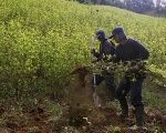 Workers hired by the Colombian government destroy coca plants during an eradication operation at a plantation in Yali, northeastern Antioquia, Sept. 3, 2014. (FILE)