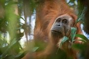 A photo of the Tapanuli orangutan, identified as a new species found on the Indonesian island of Sumatra where a small population inhabit its Batag Toru forest.
