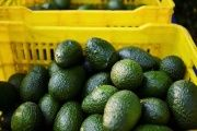 This was the first shipment of Colombian avocados to the United States.