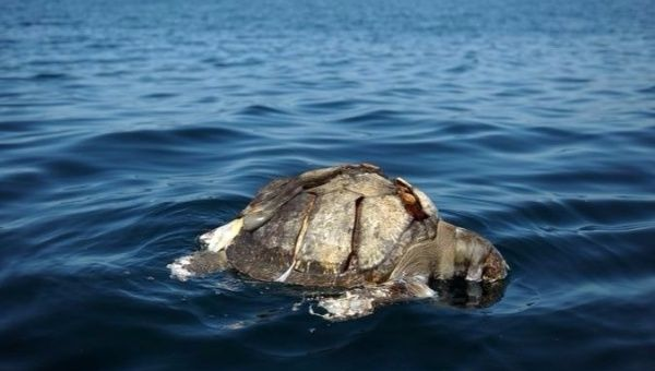 Major sea turtle deaths occurred in both 2013 (200) and 2006 (120).