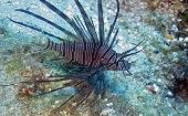 A lionfish is seen on the reefs off Roatan, Honduras in this picture taken May 5, 2010.