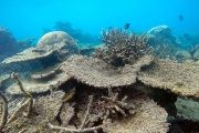 A dead table of corals killed by bleaching on Zenith Reef, on the northern Great Barrier Reef in Australia.