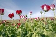 U.S. commander said they are not targeting farmers who are growing the poppy plants.