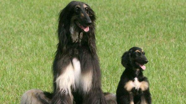 Logran clonación del primer perro duplicado en el planeta