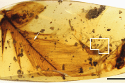 The Burmese resin in which 'Dracula's terrible tick' is trapped along with a dinosaur feather.