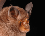 The World Wildlife Fund has discovered nearly 115 new species in the Greater Mekong in Southeast Asia this year, including this horseshoe bat.