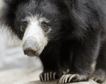Insectivorous Sloth bears have shaggy, dusty-black coats with pale, short-haired muzzles.