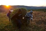 Workers drag a Christmas tree through a field at a farm in North Carolina. Workers in the Christmas tree fields say they intend to push on in their fight for equality.