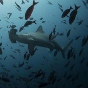 A hammerhead shark swims close to Wolf Island at Galapagos Marine Reserve, August 19, 2013.