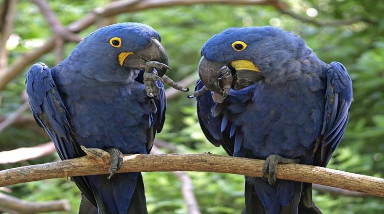 A pesar de hasta tener una película infantil que crea conciencia sobre la trata de aves en el mundo por los cazadores furtivos, el guacamayo azul o mejor conocido en Latinoamérica como el jacinto, es una ave en peligro de extinción por ser uno de los ejemplares salvajes más llamativos y que sirve para comercializarse como mascota.