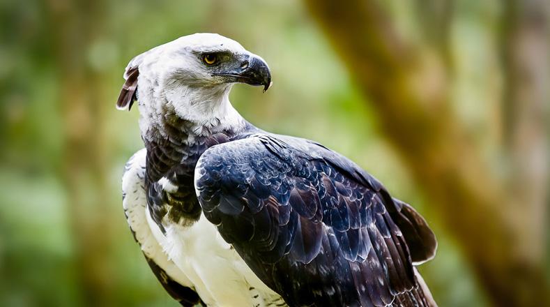 En el mundo existen al menos unas 15 especies de rapaces en peligros de extinción, pero en Suramérica se encuetra el Águila Arpía,  ave que corre el riesgo de desaparecer a causa de la deforestación a pesar de tener programas de conservación y una cantidad de personas trabajando para prolongar la vida de esta especie.