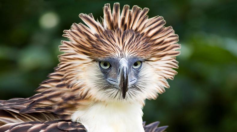El águila filipina es una de las aves de rapiña más grandes y poderosas del mundo, pero al parecer pierde fortaleza porque los cazadores no le han dado tregua a pesar de ser protegida por el Estado por ser el ave nacional de Filipinas.