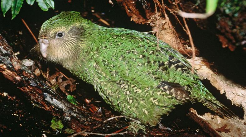 El caso del Kakapo es uno de los más impactantes en el mundo porque a pesar de ser un ave que se propagó por gran parte de Nueva Zelanda, hoy en día sufre el riesgo de desaparecer al contar con tan sólo 125 en existencia a causa de la deforestación en ese territorio, razón por la que sólo sobrevive en tres islas pequeñas aledañas a su territorio natural.