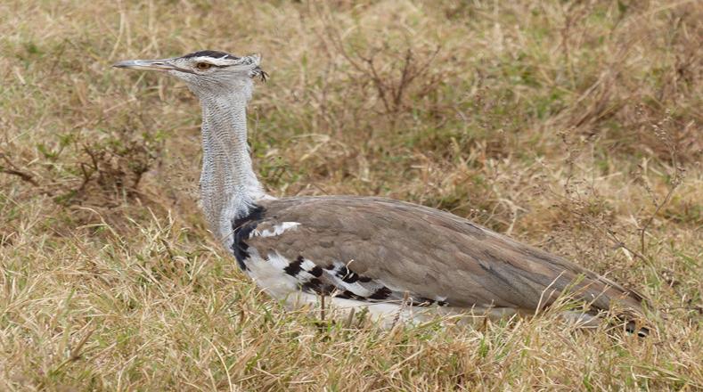 La avutarda india es una de las aves más grandes del mundo y se encuentra en peligro de extinción por  la caza, las perturbaciones y la pérdida de hábitat, es por ello que sólo quedan 250 ejemplares en el mundo.