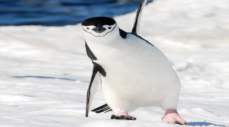 A pesar de también tener una película para generar conciencia, los pingüinos también están en peligro de extinción por varias razones; entre ellas figuran la caza, los derramamientos de petróleo y la destrucción de su hábitat natural, el clima y la falta de alimentos.